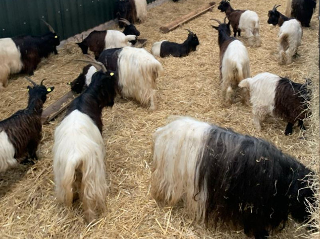Valais Blackneck Goat For Sale Cheshire