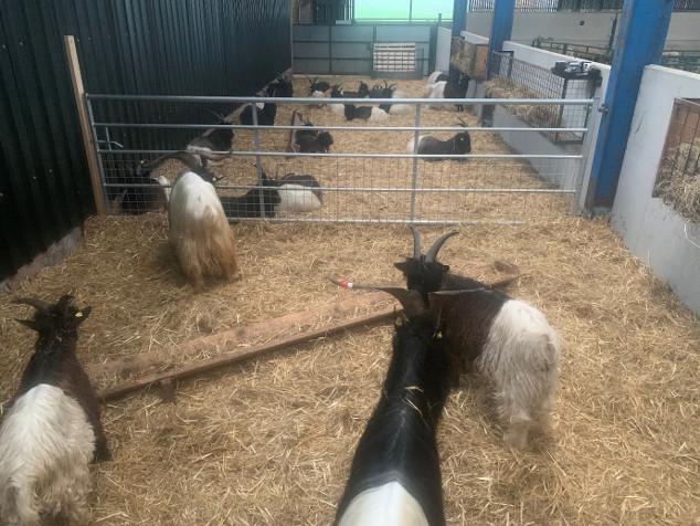 Valais Blackneck Goat For Sale UK