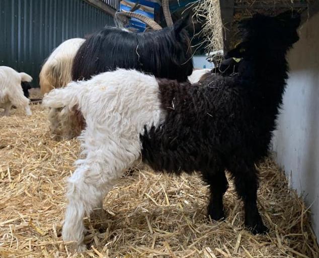 Valas Blackneck Goats For Sale